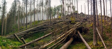 Uprooted trees - broken and fallen trees (spruces) in the forest, after a strong wind