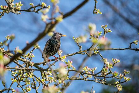 bird on a tree - starling sitting on a branch of a blossoming apple tree
