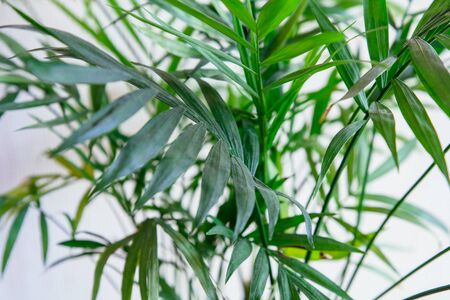 Close up of green fresh tropical houseplant palm leaves with textured white wall background. Urban jungle interior concept.
