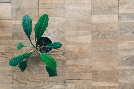 Close up of polished oak parquet flooring tiles with green plant in a pot on it