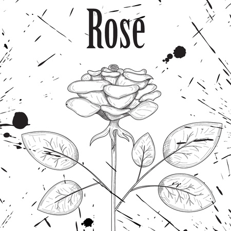 rose stem: Vector illustration of roses