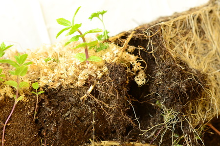 chive: Roots of mint. Stock Photo