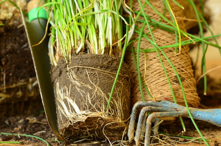chives: Planting of chives