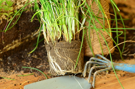 chives: Planting of parsley. Stock Photo