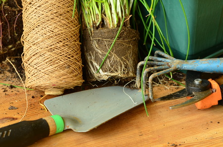 chive: Planting of chives with gardening tools. Stock Photo