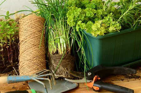 chives: Planting of chives, parsley and thyme with gardening tools. Stock Photo