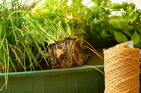chives: Planting of chives parsley and basil.