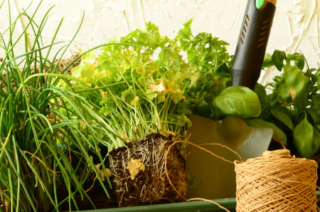 chives: Planting of chives parsley and basil with gardening tools. Stock Photo