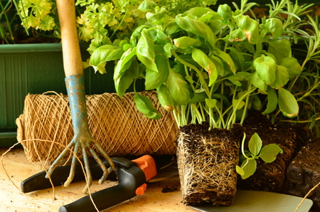 thyme: Planting of basil parsley and thyme with gardening tools. Stock Photo