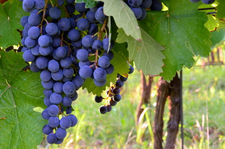 purple red grapes: Purple red grapes with green leaves