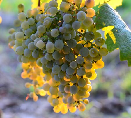 homegrown: Homegrown bunches of white grapes with green leaves