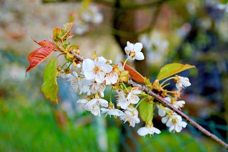 Flowering apple tree. Blooming small branch of apple tree. Stock Photo