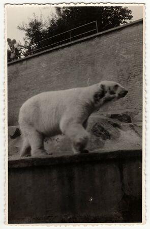 PRAHA (PRAGUE), THE CZECHOSLOVAK SOCIALIST REPUBLIC - CIRCA 1960s: Retro photo shows polar bear at the ZOO.