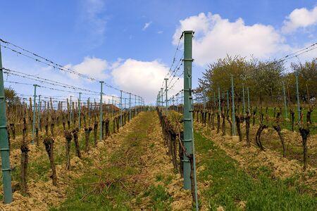 Vineyard rows in spring with blue sky. Spring wineyard landscape in southern moravia wine region.