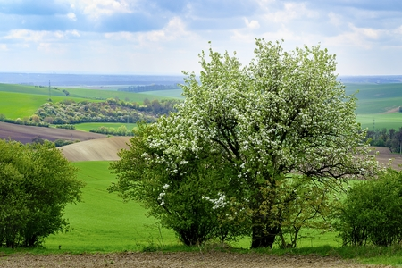 Beautiful fairytale landscape. Blooming tree in the spring.  Moravian Tuscany. Stock Photo