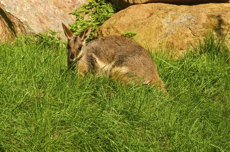 The yellow-footed rock-wallaby Petrogale xanthopus , formerly known as the ring-tailed wallaby.