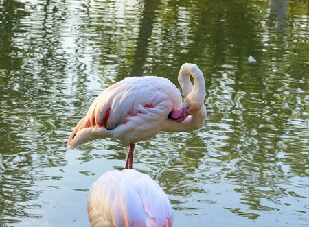 The greater flamingo Phoenicopterus roseus is the most widespread species of the flamingo family. It is found in Africa, on the Indian subcontinent, in the Middle East and southern Europe.
