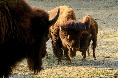 The American bison Bison bison , also commonly known as the American buffalo or simply buffalo.
