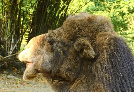 Bactrian Camel. Geographic Range: Its population of two million exists mainly in the domesticated form, wild camels Camelus ferus live only in Gobi and Gashun Gobi deserts of northwest China and Mongolia.