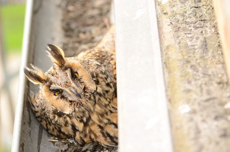The long-eared owl Asio otus . The long-eared owl female hatches on eggs in gutter
