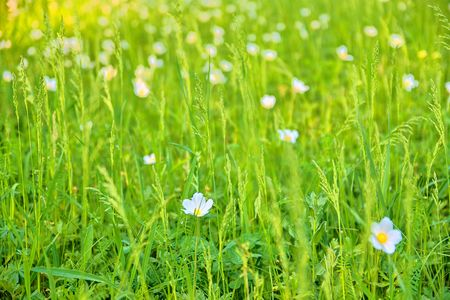 Beautiful spring green meadow with white blooms of flowers. Spring backgrounds and concept Stock Photo