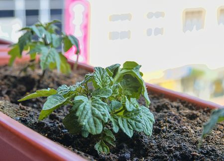 Planting and growing of dwarf tomatoes. Micro dwarf tomatoes in window box on windowsill. Garden and urban concept