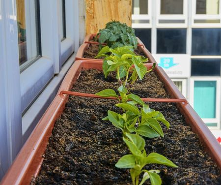 Planting and growing of dwarf peppers and dwarf tomatoes. Dwarf peppers and micro dwarf tomatoes in window box on windowsill. Garden and urban concept Stock Photo