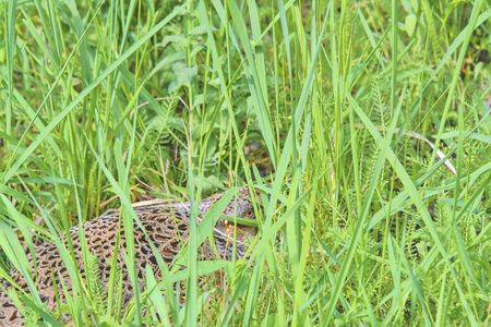 Female Common Pheasant sitting in its nest in grass Stock Photo