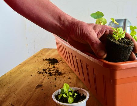 Planting flowers in a window box. Males hand planting asters and Indian cress