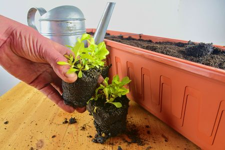 Planting flowers in a window box. Asters and Indian cress