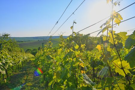 Wineyard at spring.  Sun flare. Vineyard landscape. Vineyard rows at South Moravia, Czech Republic