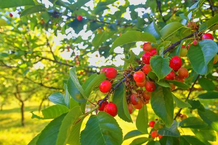 Sour cherry in rural garden. Gardening concept. Close-up