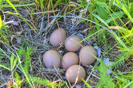Female pheasant eggs. Abandoned nest with female pheasant eggs