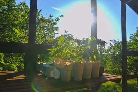 Seedlings of peppers and tomatoes on garden table. Seedlings ready to plant. Sun flare. Gardening concept. Garden cabin Stock Photo