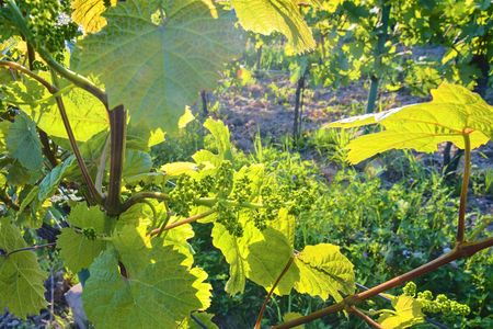 Young grapevine in wineyard. Close-up of grapevine. Wineyard at spring.  Sun flare. Vineyard landscape. Vineyard rows at South Moravia, Czech Republic Stock Photo