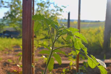 Young tomato in rural garden. Gardening concept. Sun flare, close-up