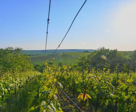 Wineyard at spring.  Sun flare. Vineyard landscape. Vineyard rows at South Moravia
