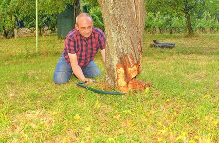 Male farmer sawing old tree. Middle aged man cutting fruit tree down. Mature man, gardener in summer