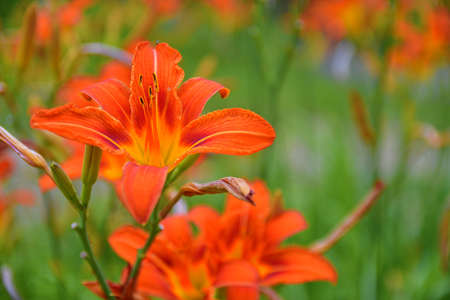 Orange lily, fire lily and tiger lily. Latin name - Lilium bulbiferum Stock Photo