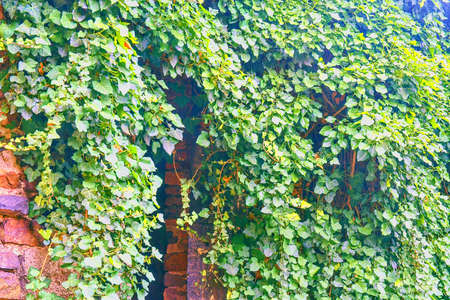 Ivy leaves on brick wall. A wall overgrown with ivy Reklamní fotografie