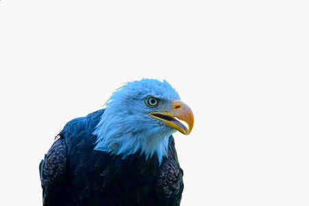 The bald eagle - Haliaeetus leucocephalus - is a bird of prey found in North America. The bald eagle is the national bird of the United States of America. Bald eagle on white backround and big copy space.