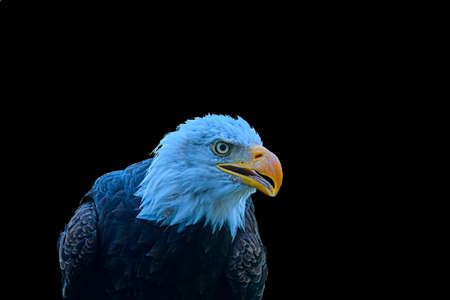 The bald eagle - Haliaeetus leucocephalus - is a bird of prey found in North America. The bald eagle is the national bird of the United States of America. Bald eagle on black background and big copy space.