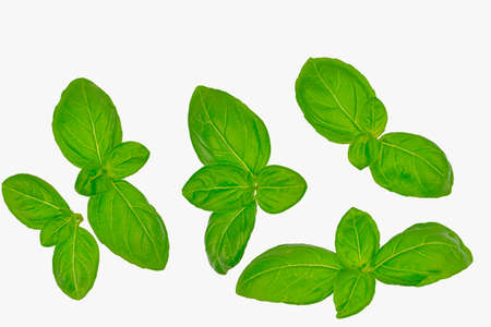 Basil isolated. Basil leaf on white. Basil leaves top view set. Basil leaves isolated on white background. Top view. Flat lay