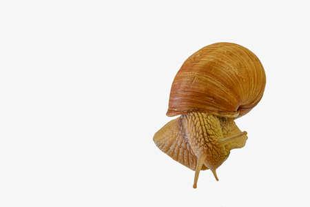 Close up of Burgundy, Roman snail isolated on white background. Snail crawling isolated on white background Standard-Bild