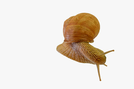 Snail isolated on white background, Helix pomatia, top view. Common Garden Snail isolated on a white background. Grape snail isolated on a white background. Helix pomatia, escargot