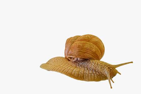 Common Garden Snail isolated on a white background. Grape snail isolated on a white background. Helix pomatia, burgundy snail, Roman snail, edible snail, escargot