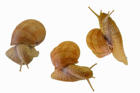 Set of three snails crawling on white background. Helix pomatia, collection of three snails isolated on white background, side view and directly above view. Close-up