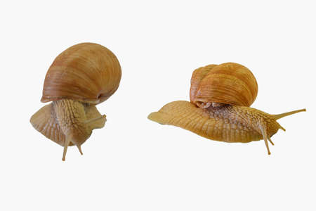 Two snails crawling on white background. Helix pomatia, two snails isolated on white background, side view and directly above view. Close-up
