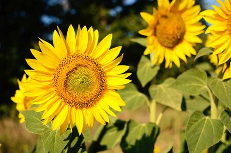 close up view of a beautiful yellow sunflower on a summer day