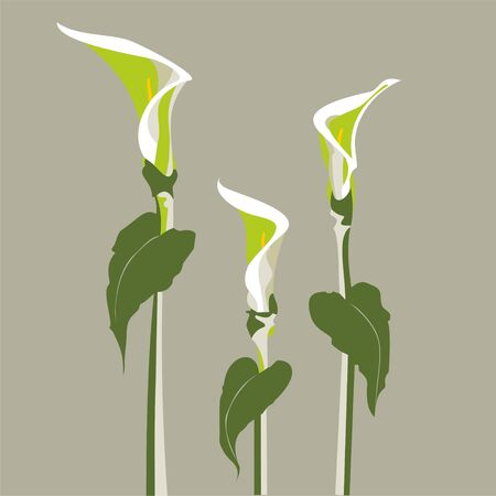 calla lily:  vector illustration of a very beautiful and elegant single white Lily